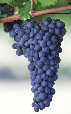 Red Wine Grapes | Free Wine Information